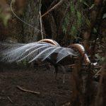 Lyrebird display - John Bramley