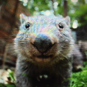 wombat 3 koda