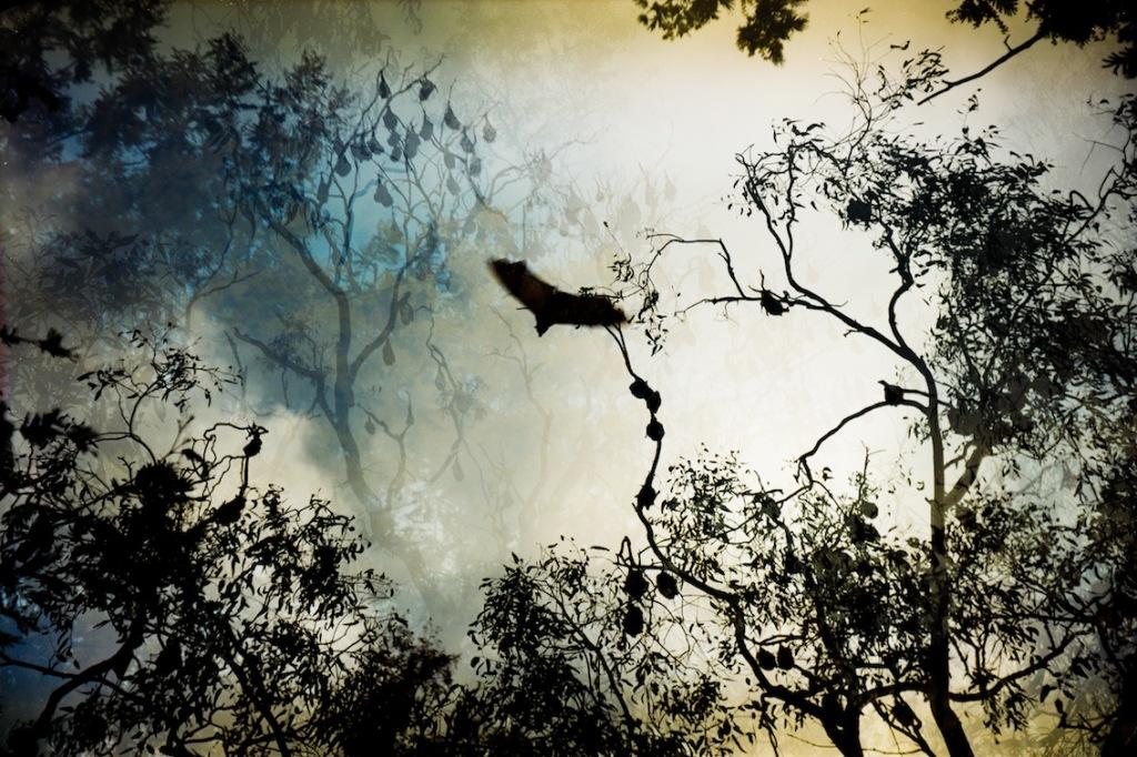 Ryan Tews Flying Foxes on the Yarra