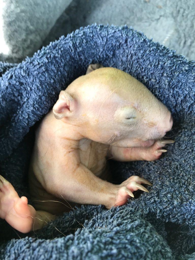 wombat baby wolfie